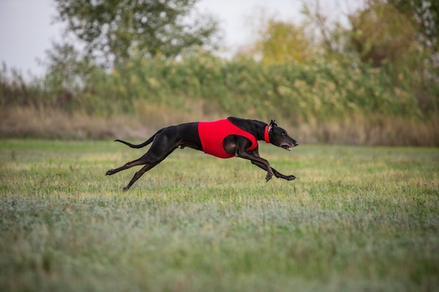Sportive dog performing during the lure coursing in competition