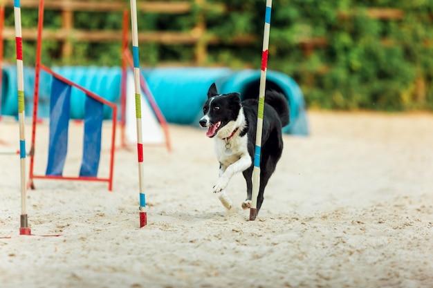 競技会のショー中に演じるスポーティーな犬。ペットスポーツ、モーション、アクション、ショー、パフォーマンスのコンセプト。