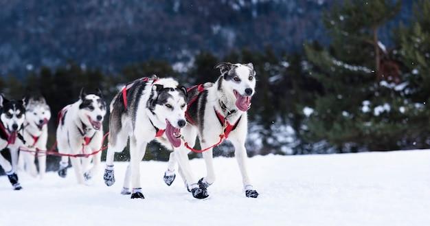 陽気な犬のチームが雪の中で走っています