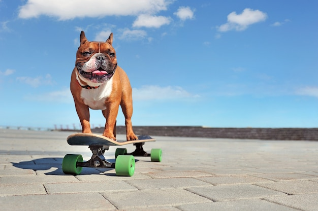 Sportive french bulldog standing on the longboard looking to the side