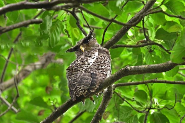 Пятнистая филин птица сидит на дереве в природе, таиланд