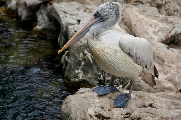 スポット請求ペリカンまたは灰色ペリカン(pelecanus philippensis)