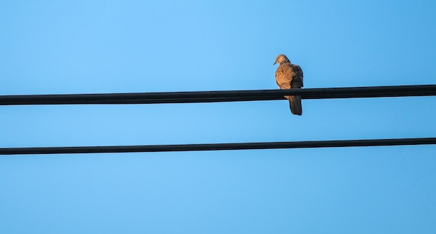 Spot-necked turtle dove sitting on a power line