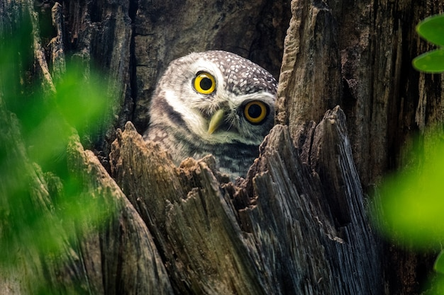 Spot  owl in nature perched on a tree
