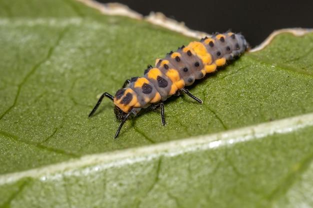 히비스커스 잎에 있는 cycloneda sanguinea 종의 얼룩 없는 레이디 비틀 애벌레