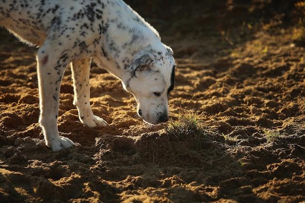 地面を嗅ぐ中央アジアの羊飼いの犬を発見