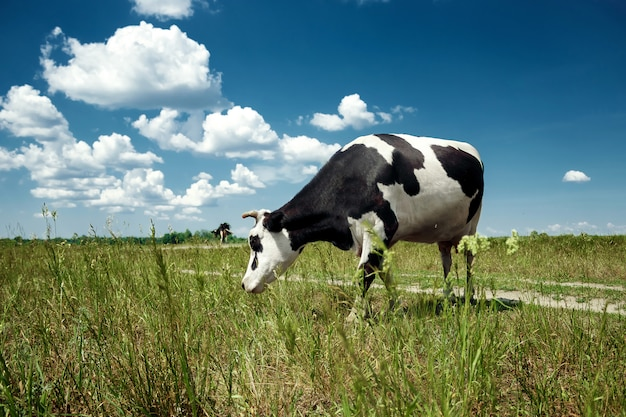 Spotted cow grazing on a beautiful green meadow against a blue sky.