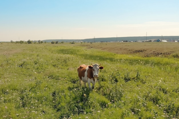 Пятнистая корова белого и коричневого цвета стоит на зеленом лугу