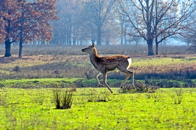 Spotted deer in autumn in nature