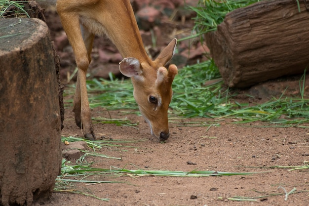 Spotted deer grazing on the field