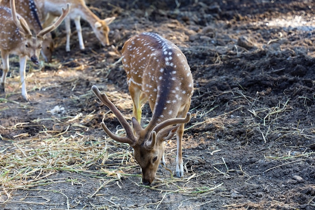The spotted deer is eatting grass in the garden