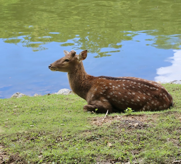 Spotted deer near river