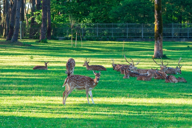 Пятнистый олень лежит на зеленой траве, жизнь животных