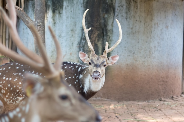 Spotted deer in a zoo