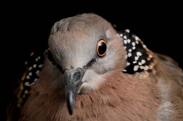 The spotted dove bird isolated