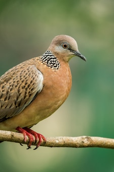 Spotted dove or (spilopelia chinensis) or pearl-necked dove perched and resting