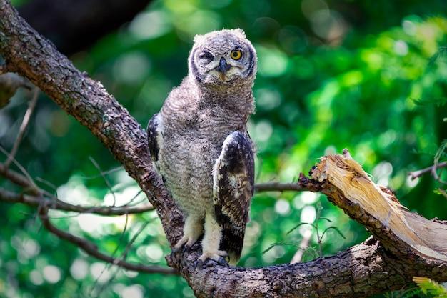南アフリカ、ケープタウンの木の枝に座っているワシミミズクを発見