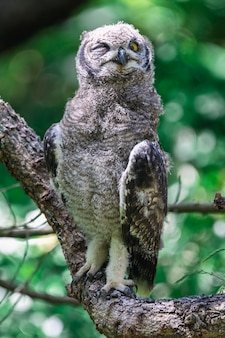 Spotted eagle owl sitting on a tree branch in cape town, south africa