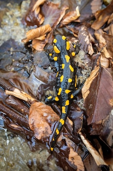 Spotted fire salamander lying on the ground with wet leafs from high angle