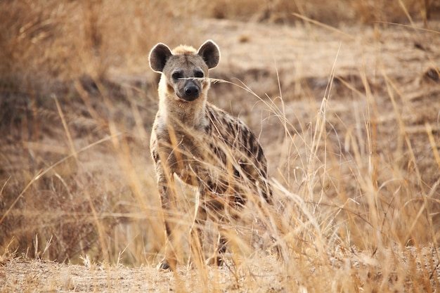 Spotted hyena in african savana