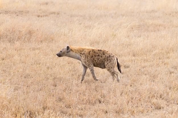 Пятнистая гиена крупным планом в национальном парке серенгети, танзания