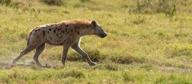 ケニア国立公園のブチハイエナ(crocuta crocuta)