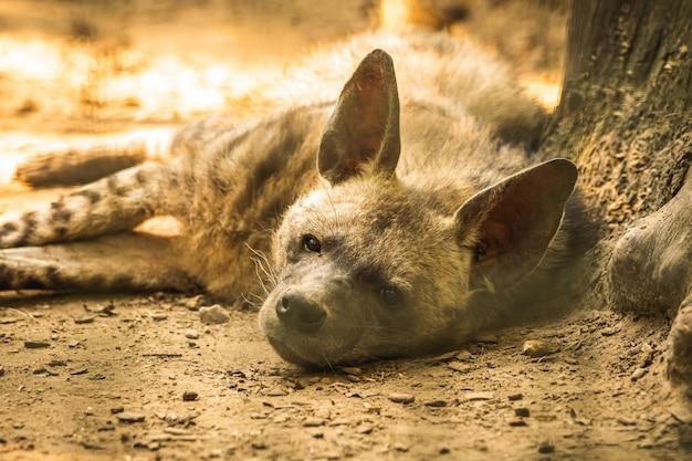 地面に横たわって晴れた日に休んでリラックスしている南アフリカのブチハイエナ、ポートレート写真
