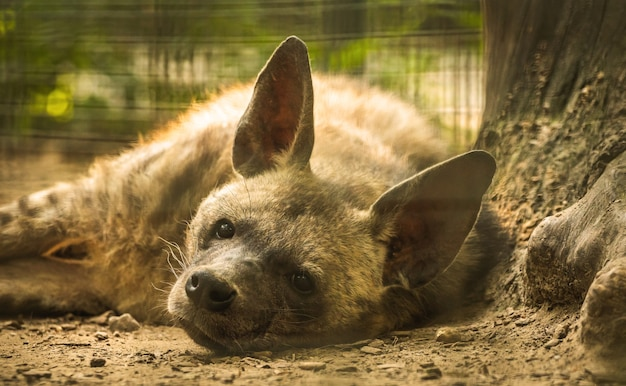 ブチハイエナは木の近くの地面で休んで眠っています