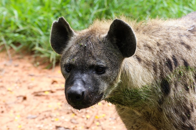 Spotted hyena in nature
