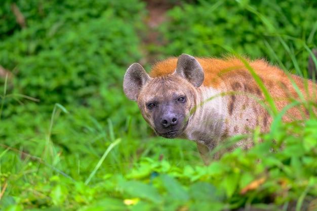 Spotted hyena in the safari