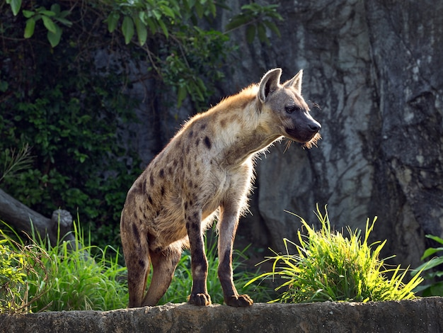 Spotted hyena standing amidst nature.