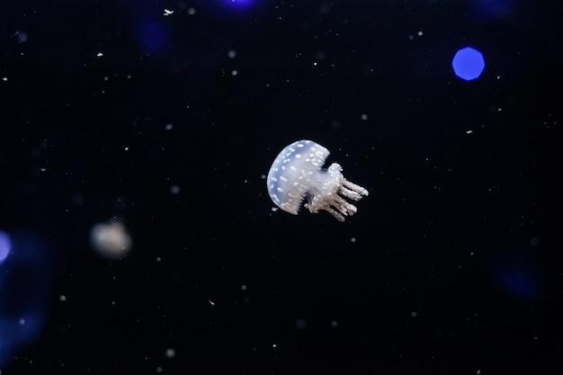 斑点のあるラグーンクラゲ