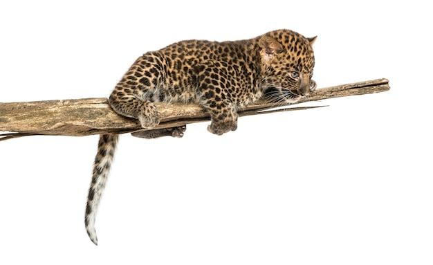 Spotted leopard cub on a branch looking down