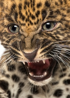 Spotted leopard cub panthera pardus