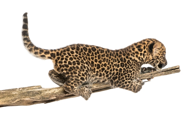 Spotted leopard cub prowling on a branch
