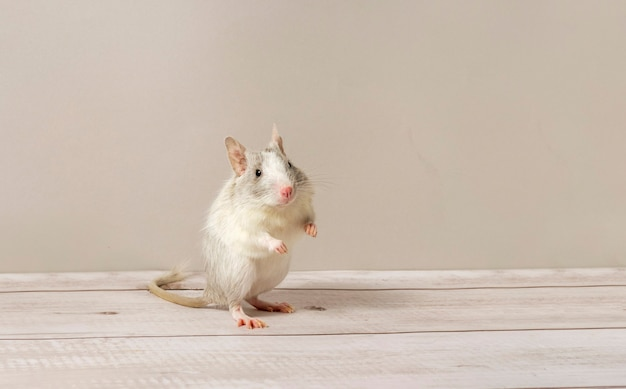 Spotted lilac degu stands on the hind legs in an interesting pose, banner with space for text