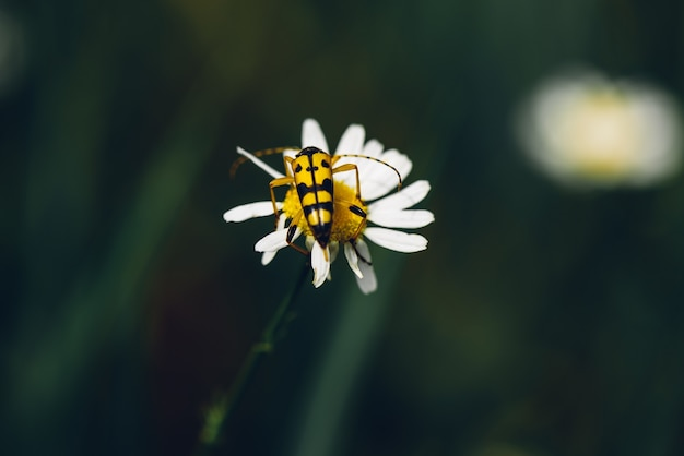 Spotted longhorn beetle sitting on the chamomile flower