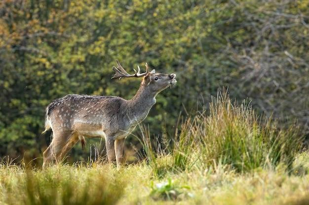 秋のわだち掘れの季節に牧草地を嗅ぐダマジカのオス