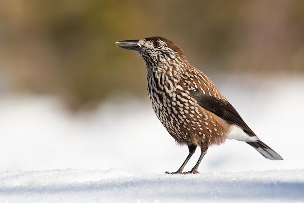 Пятнистый щелкунчик смотрит на снег в зимней природе