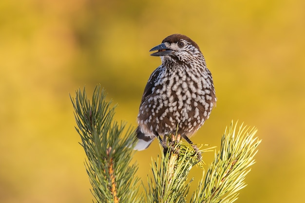 Spotted nutcracker sitting on coniferous tree in summer nature
