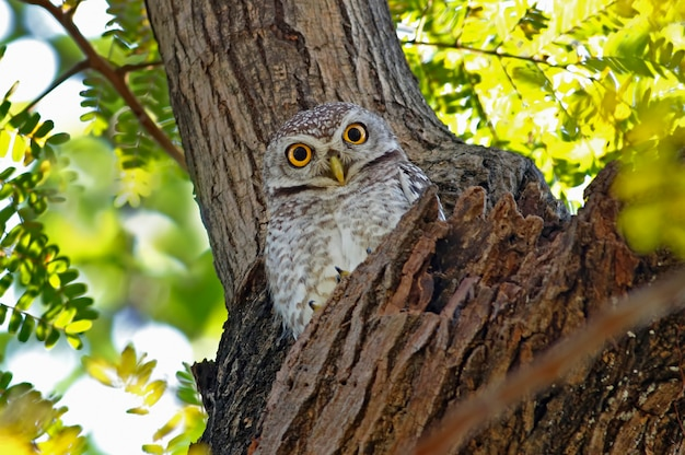 Spotted owlet athene brama beautiful birds of thailand