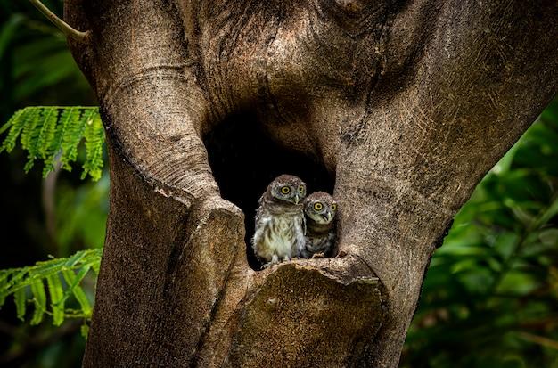 Пятнистый совенок афина драма - маленькая сова пятнистый совенок афина брама - маленькая сова, которая размножается