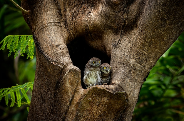 Spotted owlet athene drama is a small owl spotted owlet athene brama is a small owl that breeds
