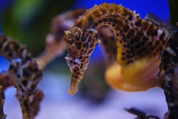 Пятнистые морские коньки в подводном зоопарке