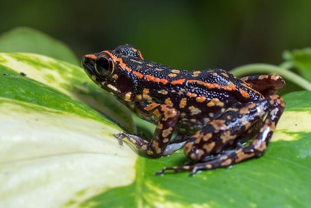 モンステラの葉の上にとまる斑点のある小川のカエル