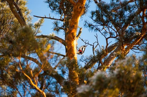 Пятнистый дятел dendrocopos сидит на дереве в хвойном лесу