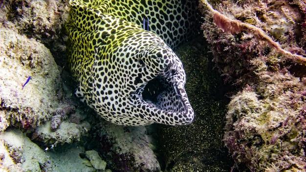 열대 몰디브에서 발견된 노란색 moray 장어.