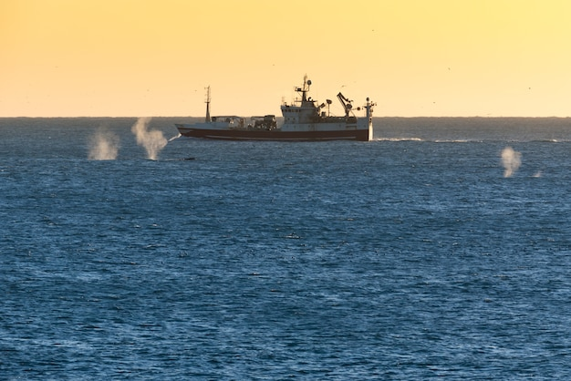 Spray from 3 whales swimming around a fishing boat in iceland at sunset