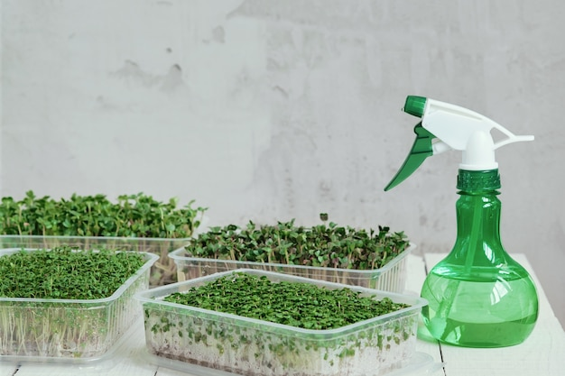 Sprayer and plastic boxes with growing microgreens of watercress, radish and broccoli.