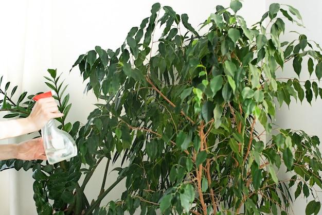 창틀에 분무기와 집 식물. 집 식물 관리. 물을 분사. 정원 관리. 무화과 나무. 숙제. 청소